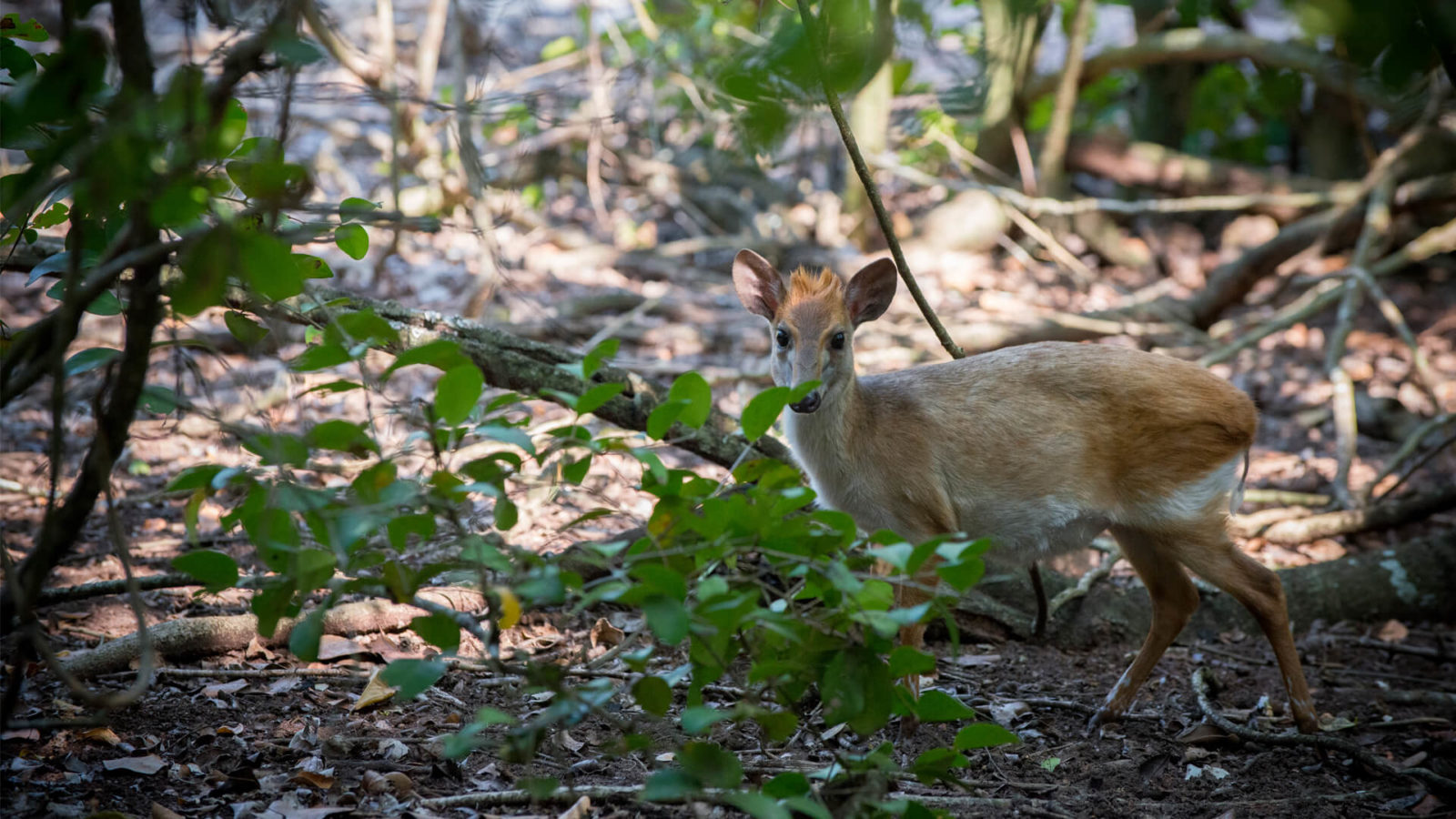 andbeyond aders duiker