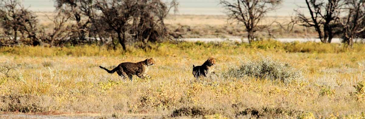 cheetah etosha