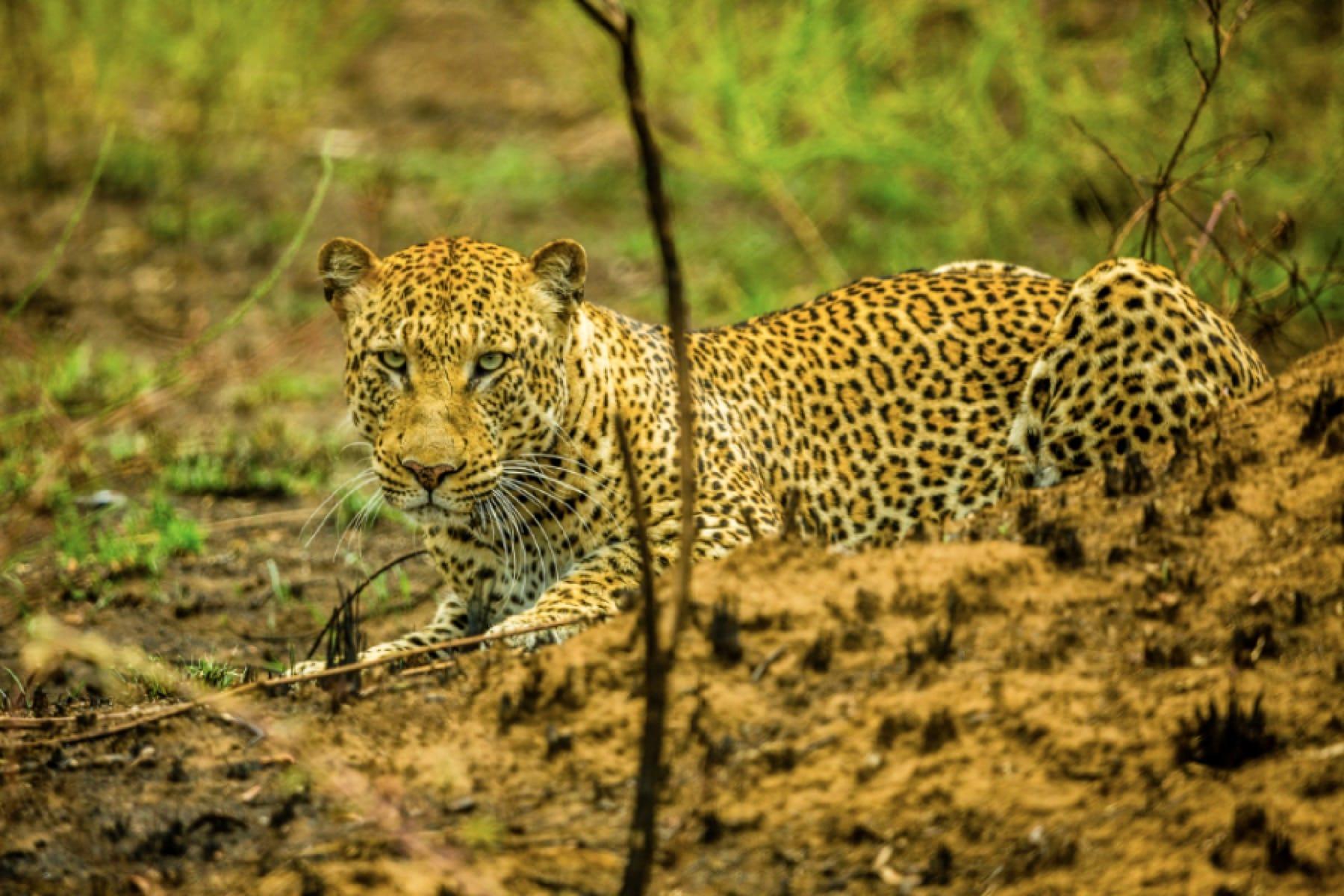 leopard akagera