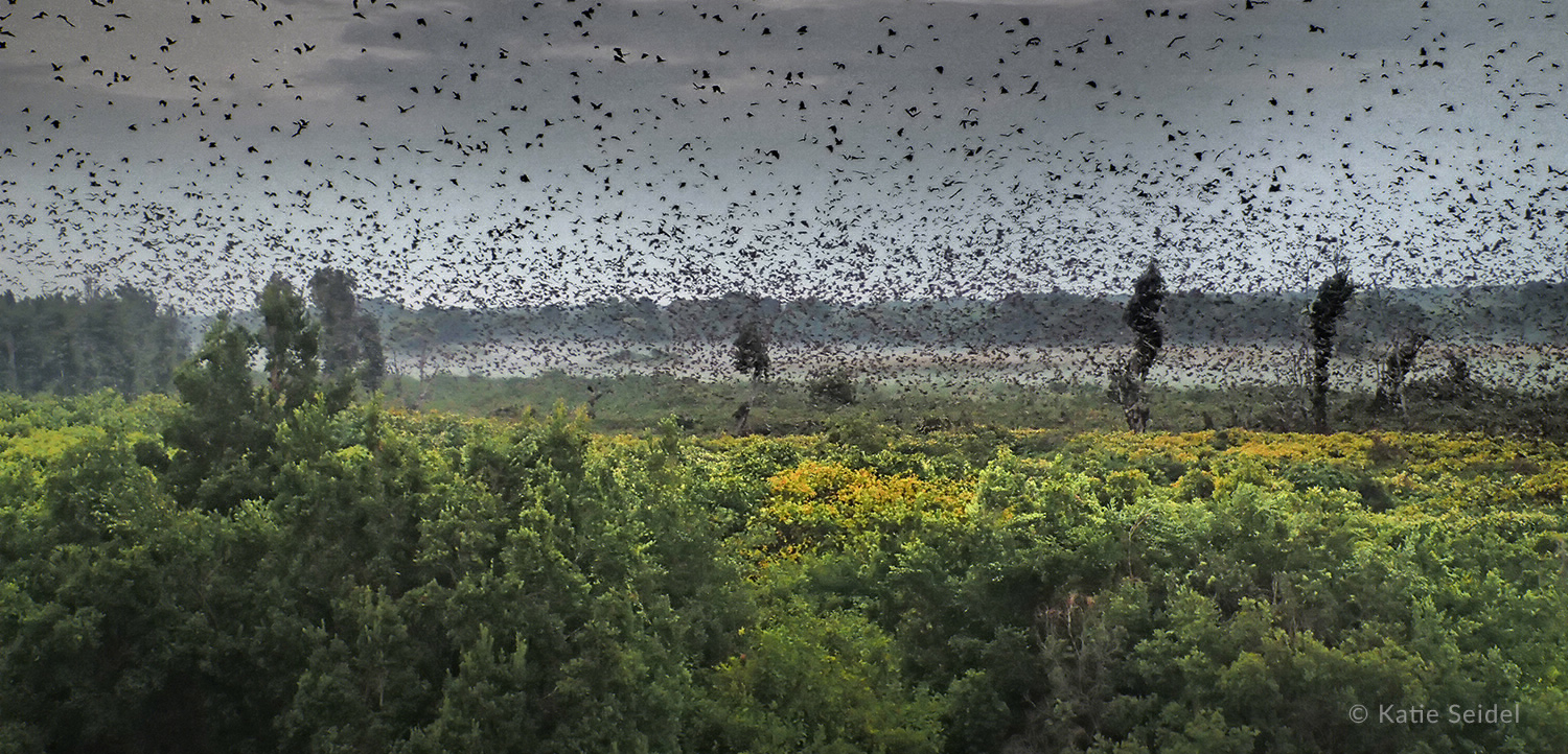 Between October and December each year, about 10 million straw coloured fruit bats descend into a tiny patch of evergreen swamp forest inside Kasanka National Park
