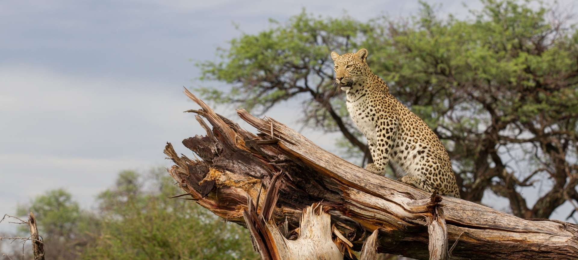 Leopard are elusive and not easily sighted