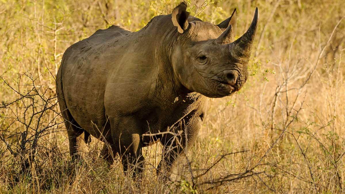 Black rhino tsavo