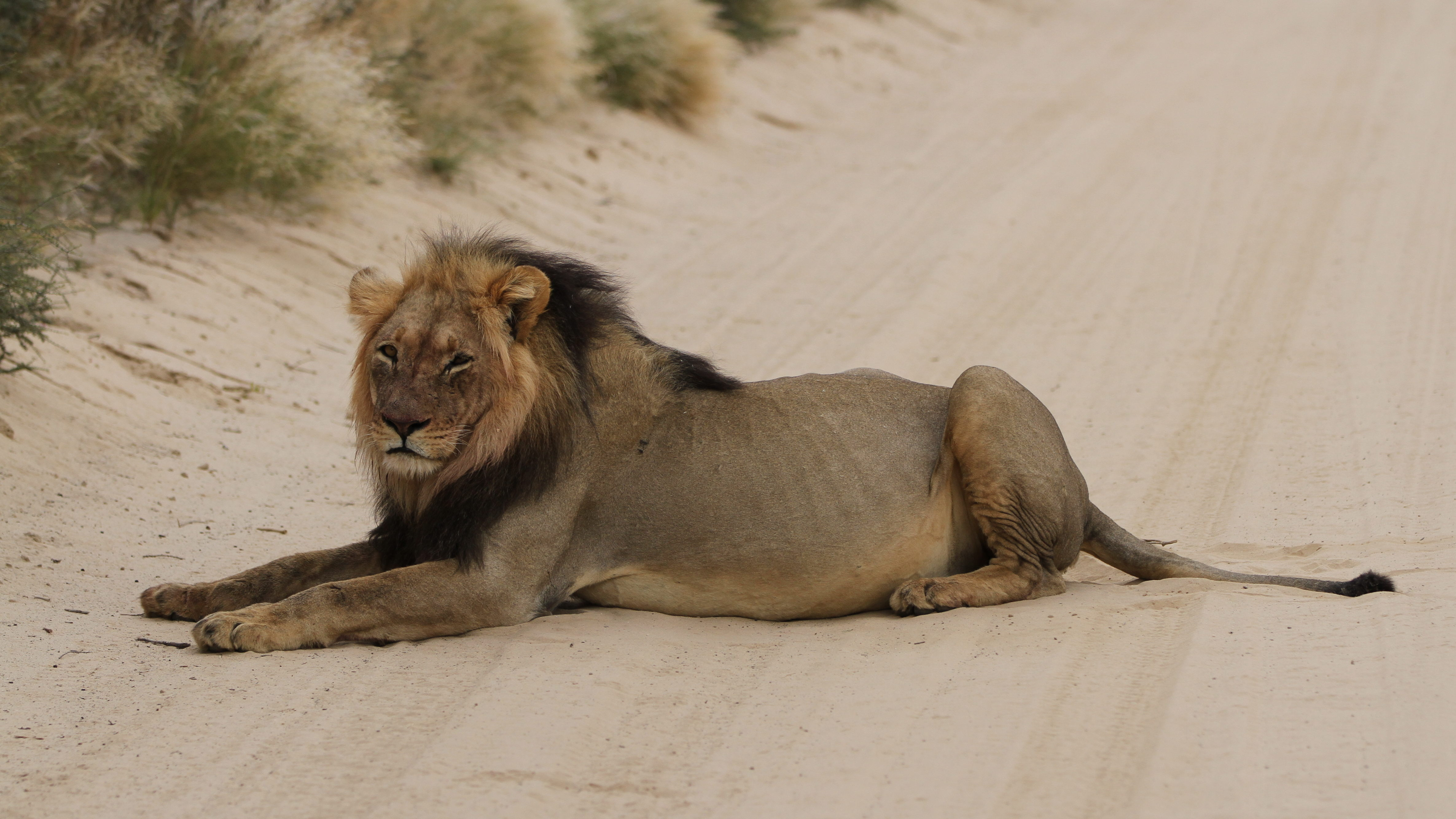 Black maned lions are one of the main attractions at Kgalagadi
