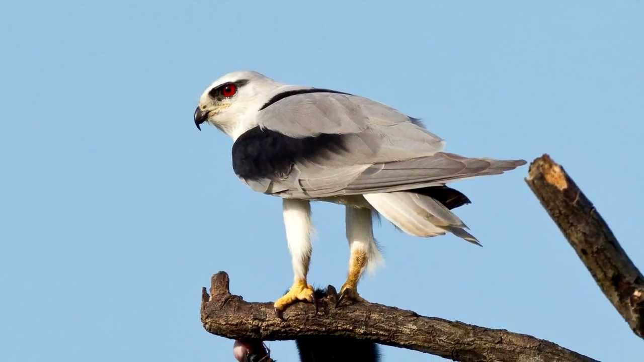black winged kite_wildlife_kenya