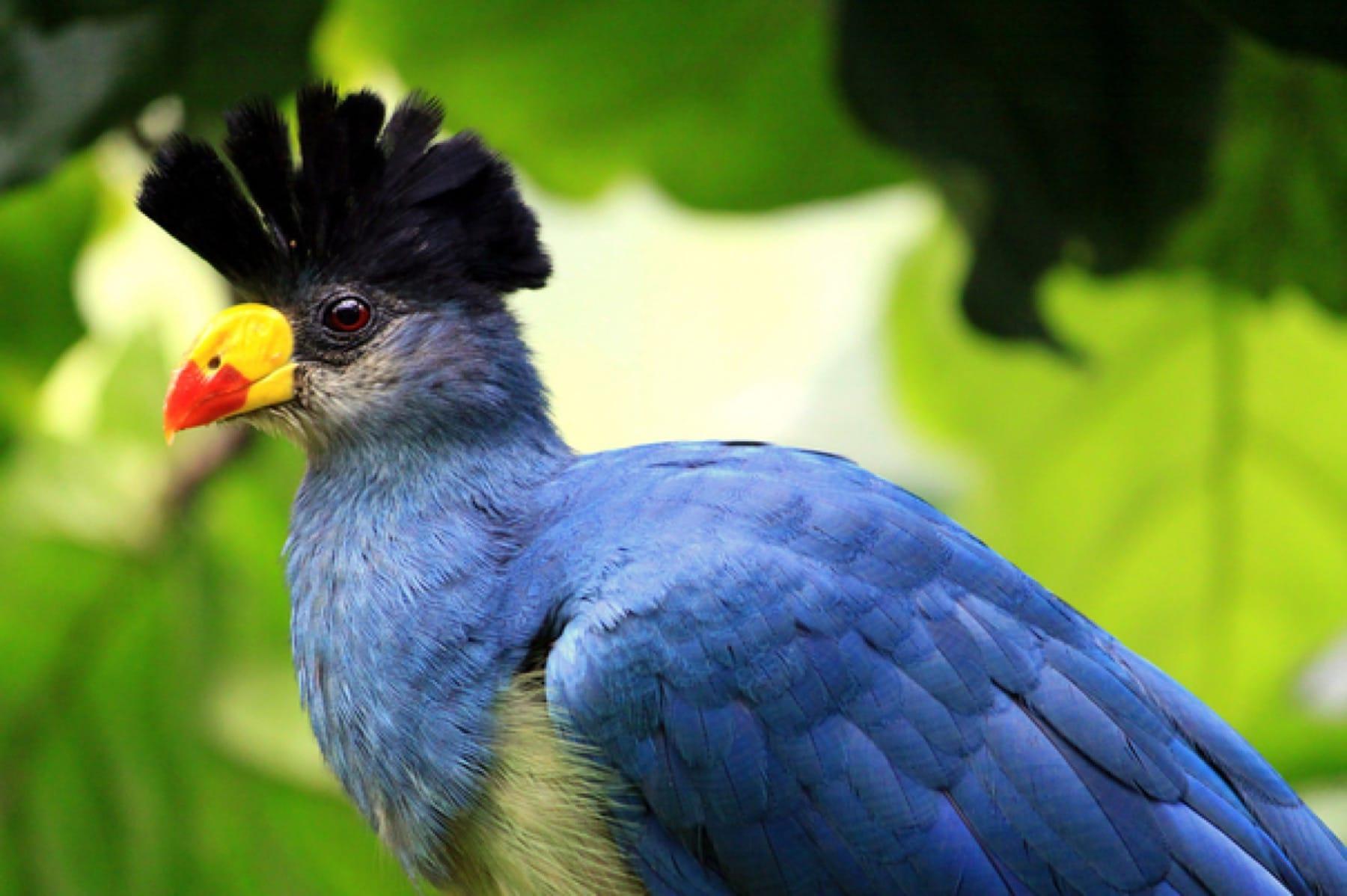 blue turaco
