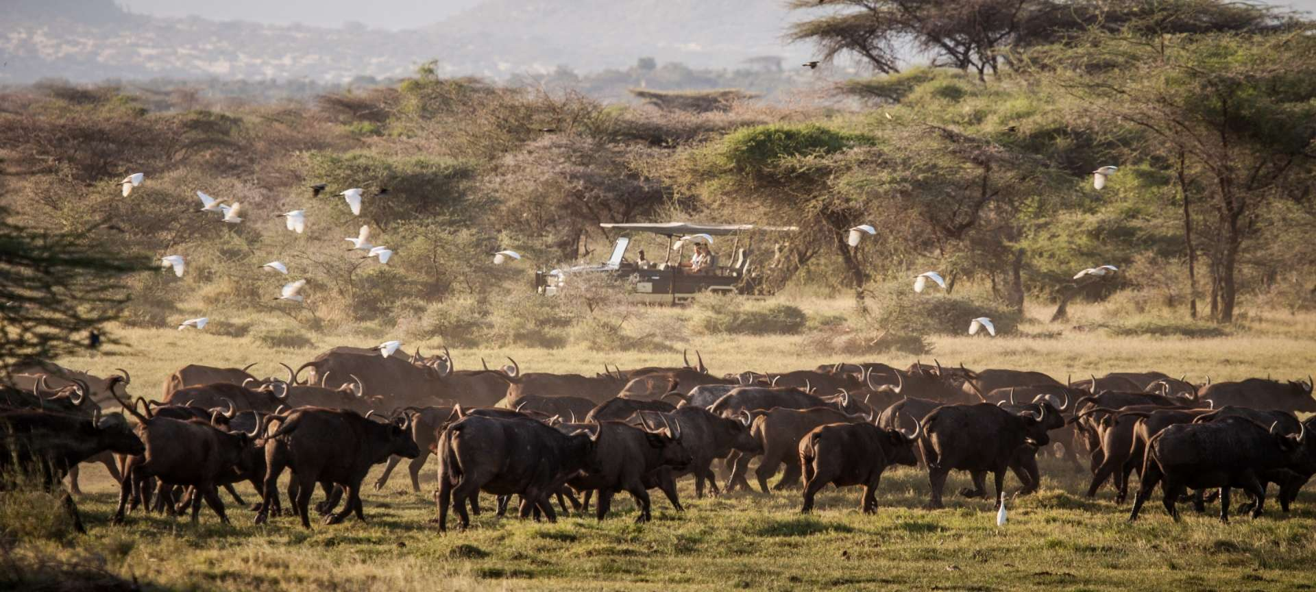 Herds of buffalo traverse the grasslands in Zambia