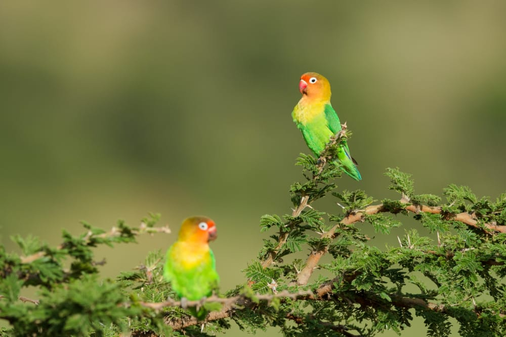 fishers love birds serengeti