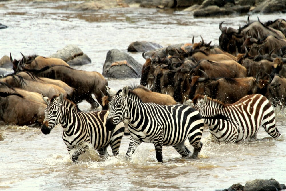 camp zebra serengeti migration safari river crossing