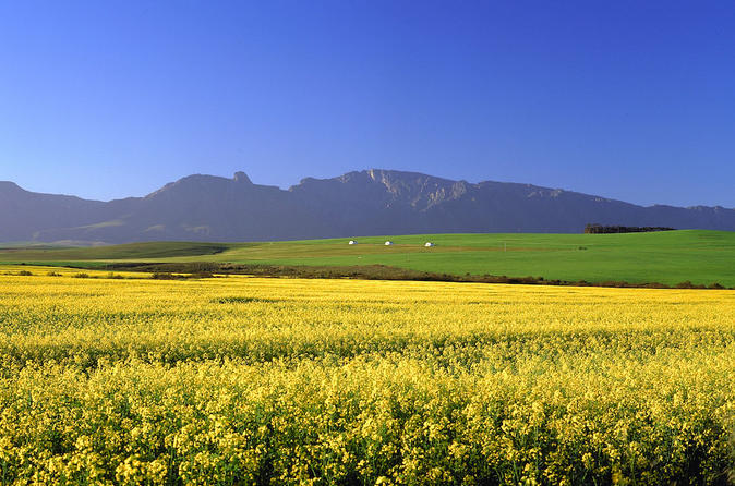 Canola fields make for a spectacular scene of yellow flowers  Credit: Lonely Planet