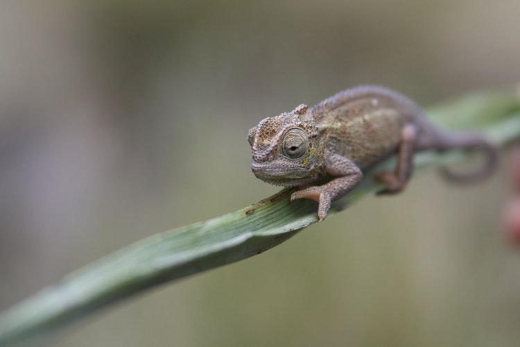chameleon mount meru park