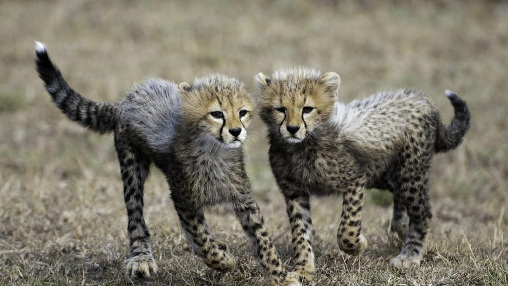 cheetah cubs in the eastern serengeti