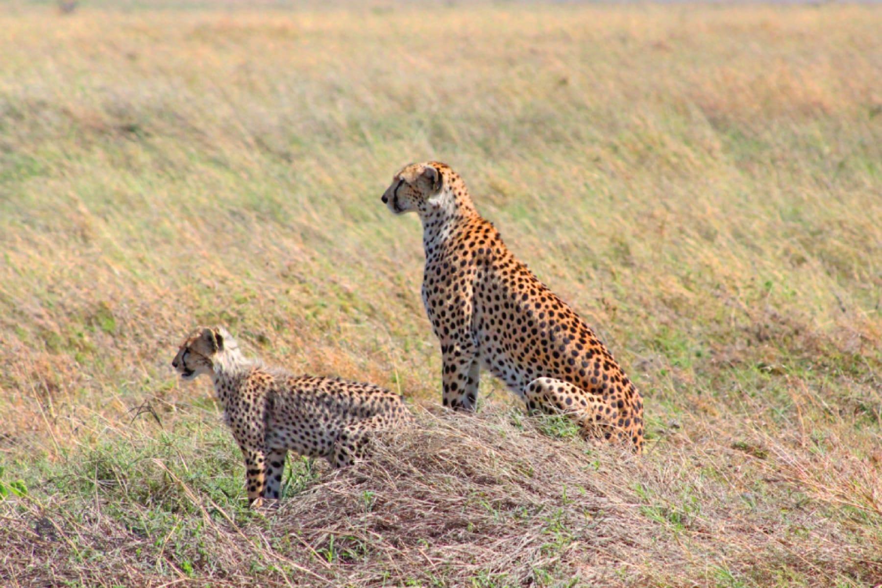 cheetah pair wildlfie ngorongoro crater tanzania safari