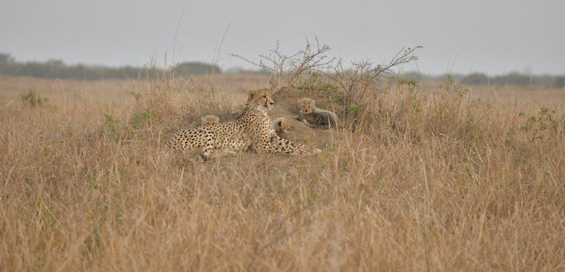 iSimangaliso Wetland Park_Cheetah in Phinda