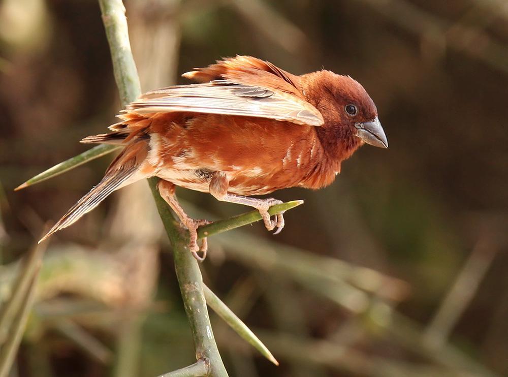 Chestnut sparrow  I  Credit: HBW Alive