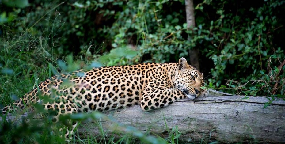 A leopard lounges lazily on a log in Chief's Camp