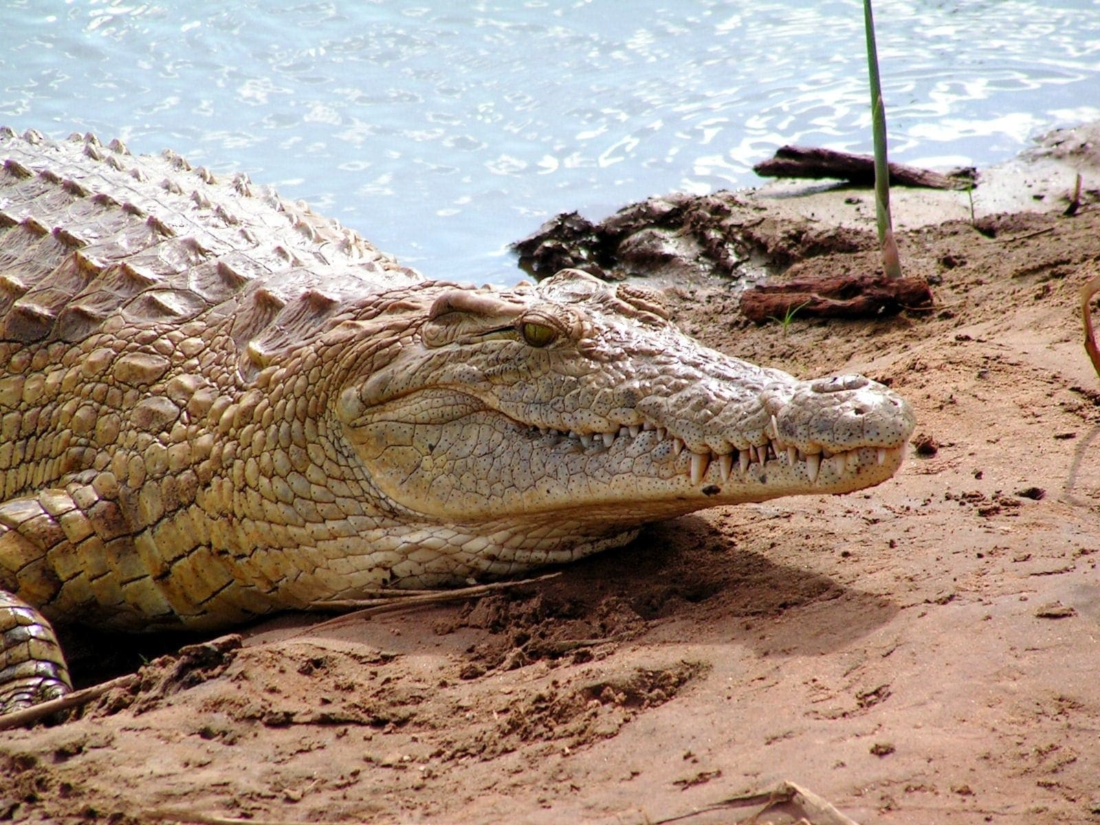 One of nature's toughest predators, crocodiles abound in Zambia's many lakes