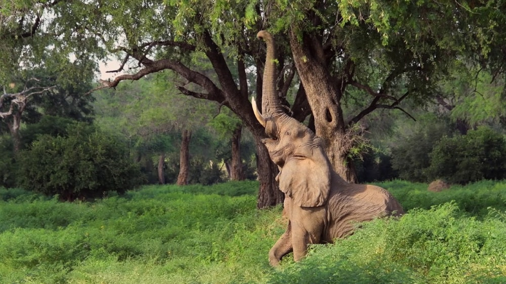 An elephant reaches for the juciest foliage