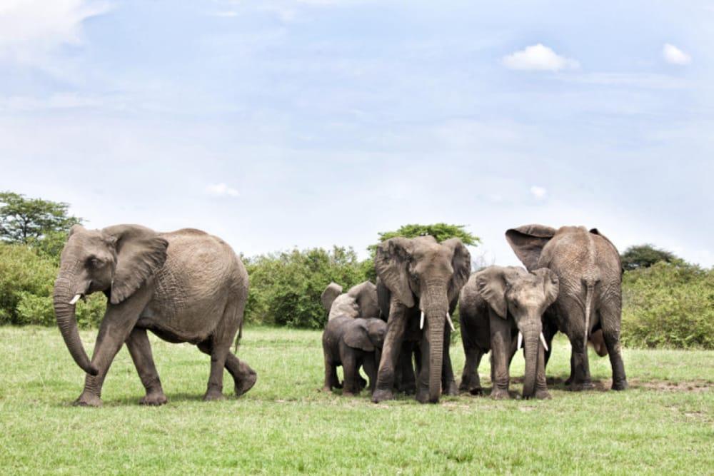 elephants masai mara wildlife safari kenya