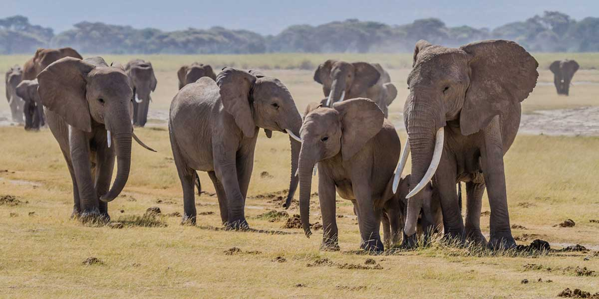 Elephants Amboseli | by blieusong Elephants Amboseli