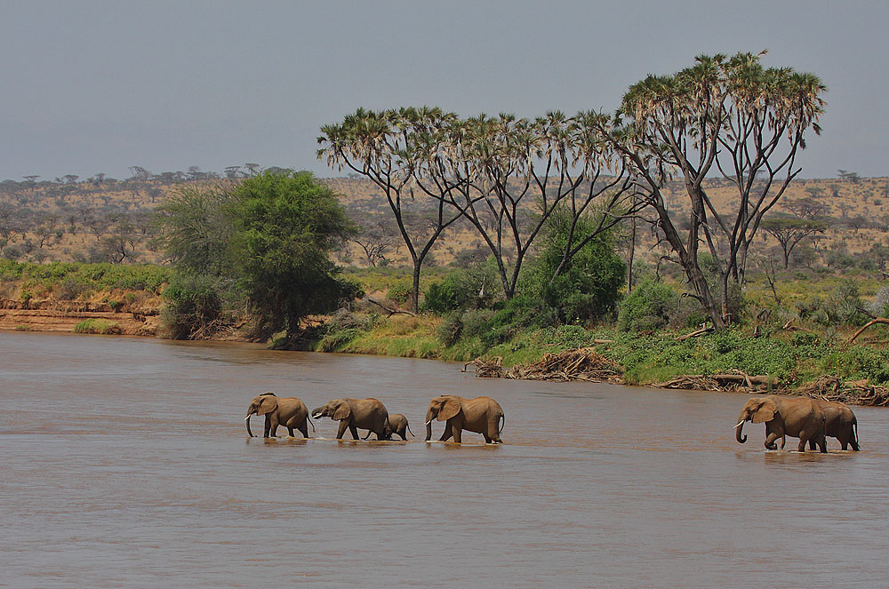 elephants crossing ewaso nyiro river