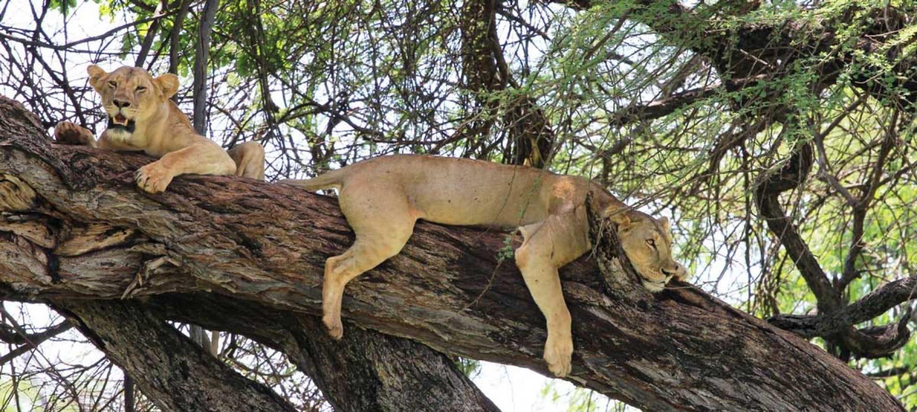 Lions mount meru