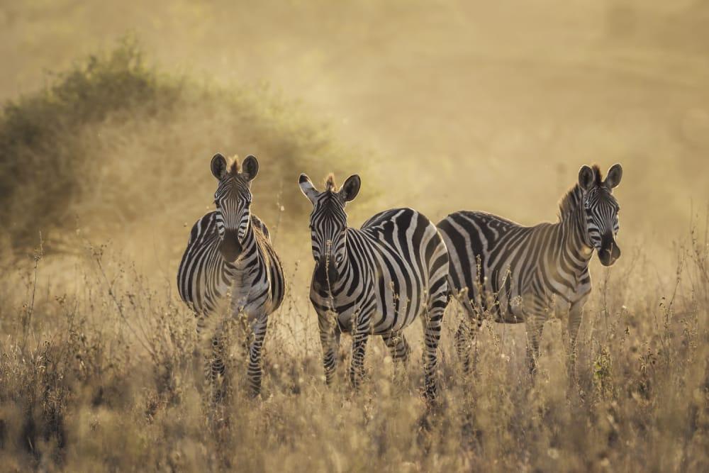 zebra wildlife masai mara