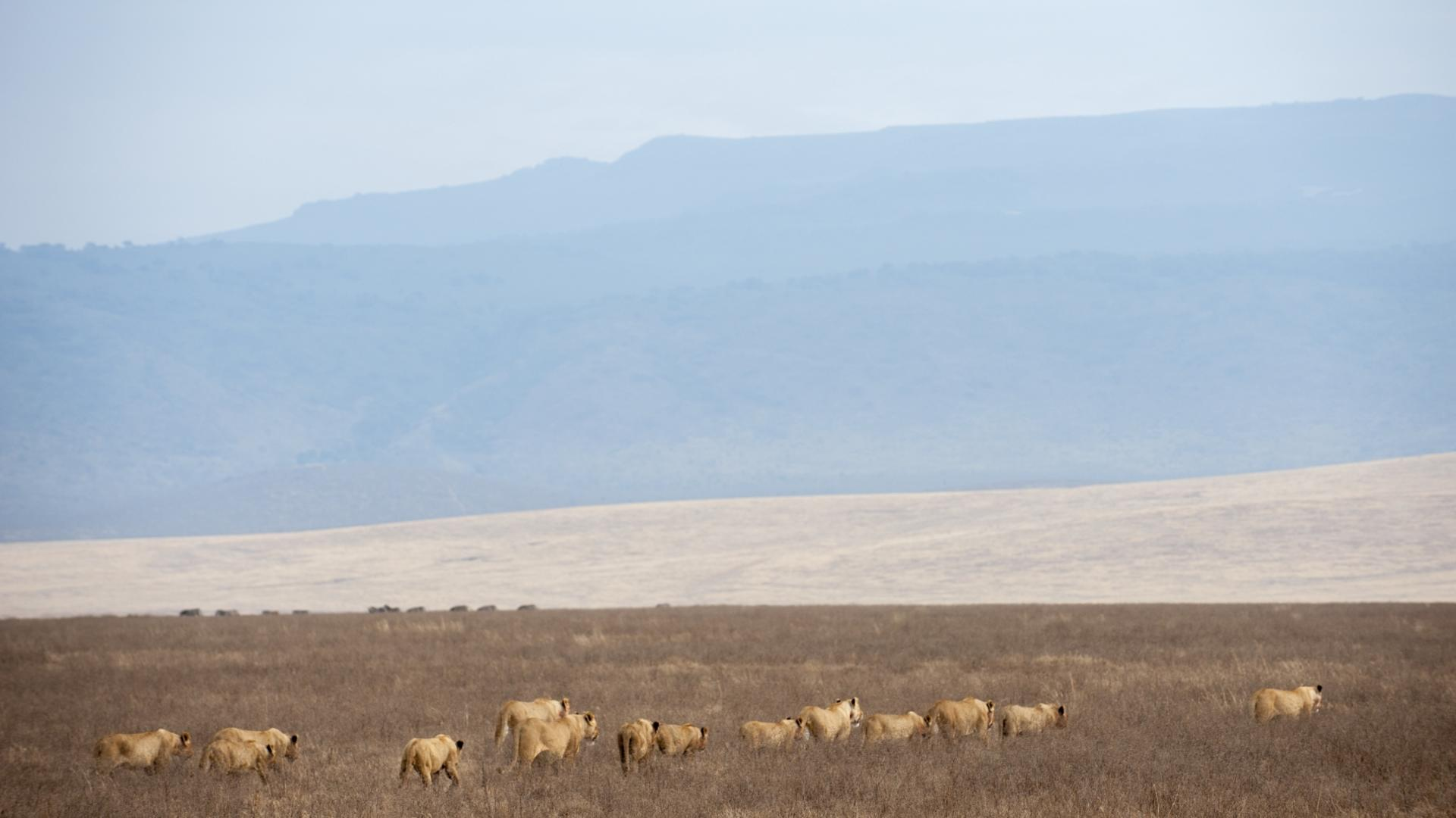 lion pride entamanu ngorongoro tanzania safari