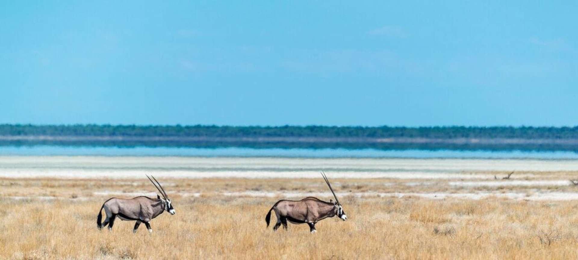 etosha national park gemsbok
