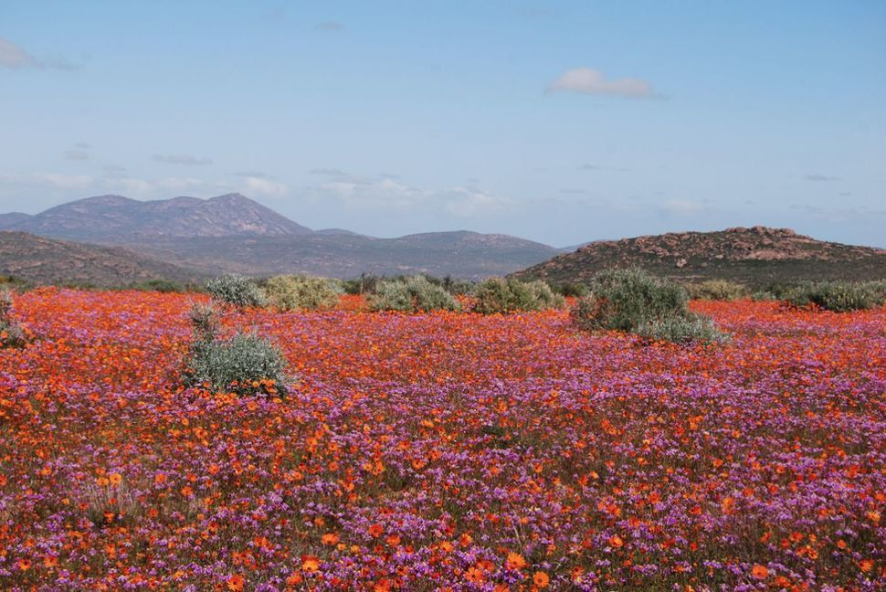 The flower season starts in August where blankets of colourful blooms can be seen all along the west coast and beyond.