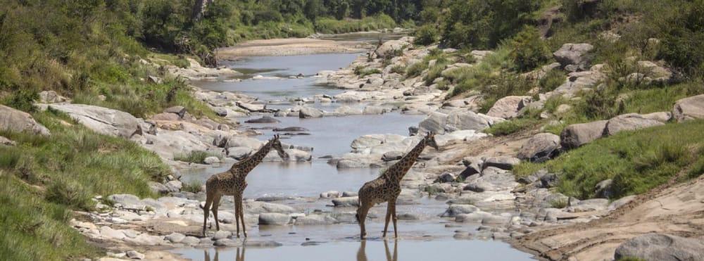 giraffe masai mara kenya
