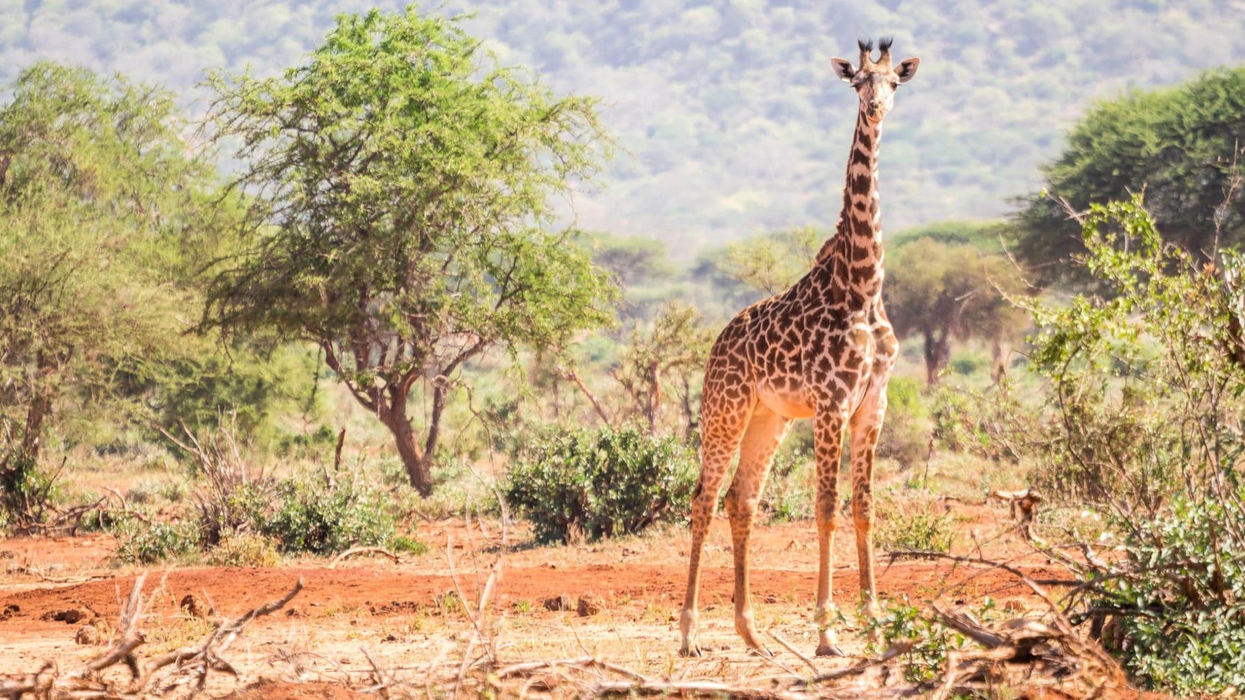giraffe wildlife ngorongoro crater