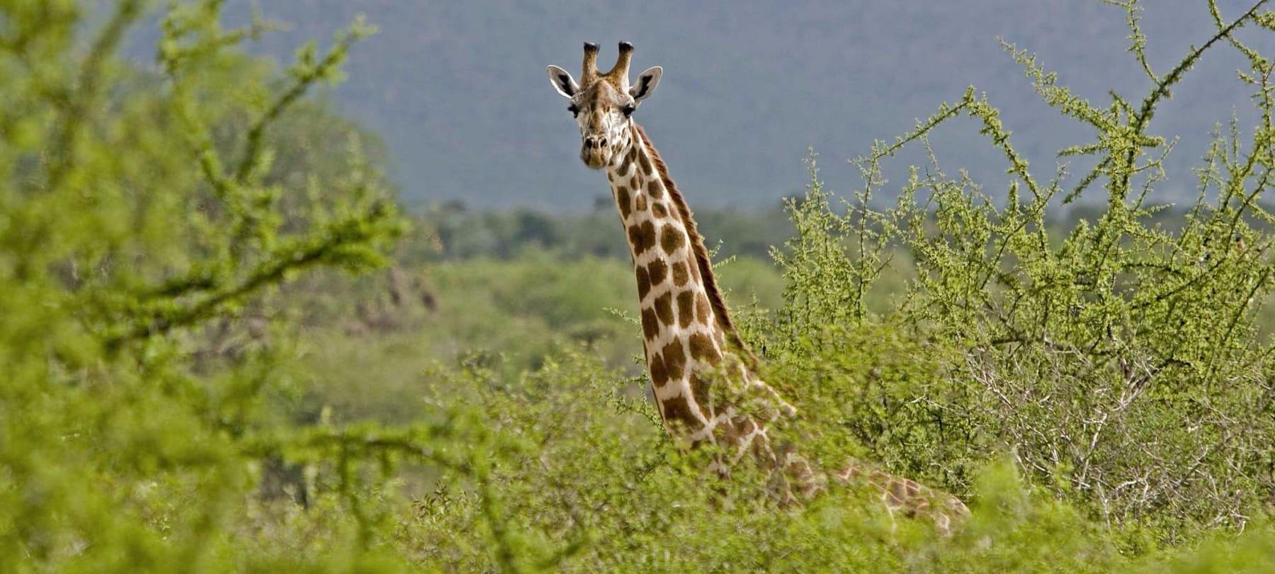 Giraffe_Tsavo East_Kenya
