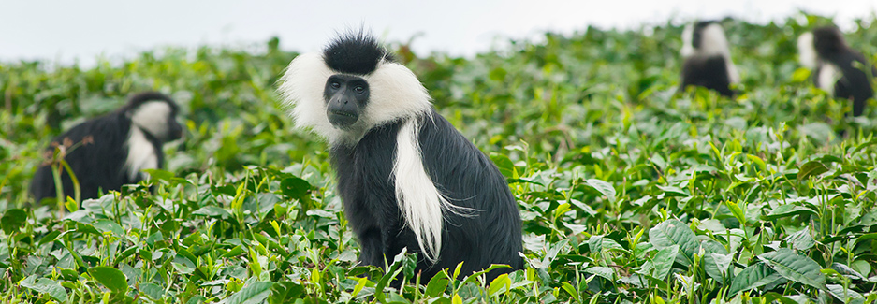 colobus monkey in gishwati mukura rwanda