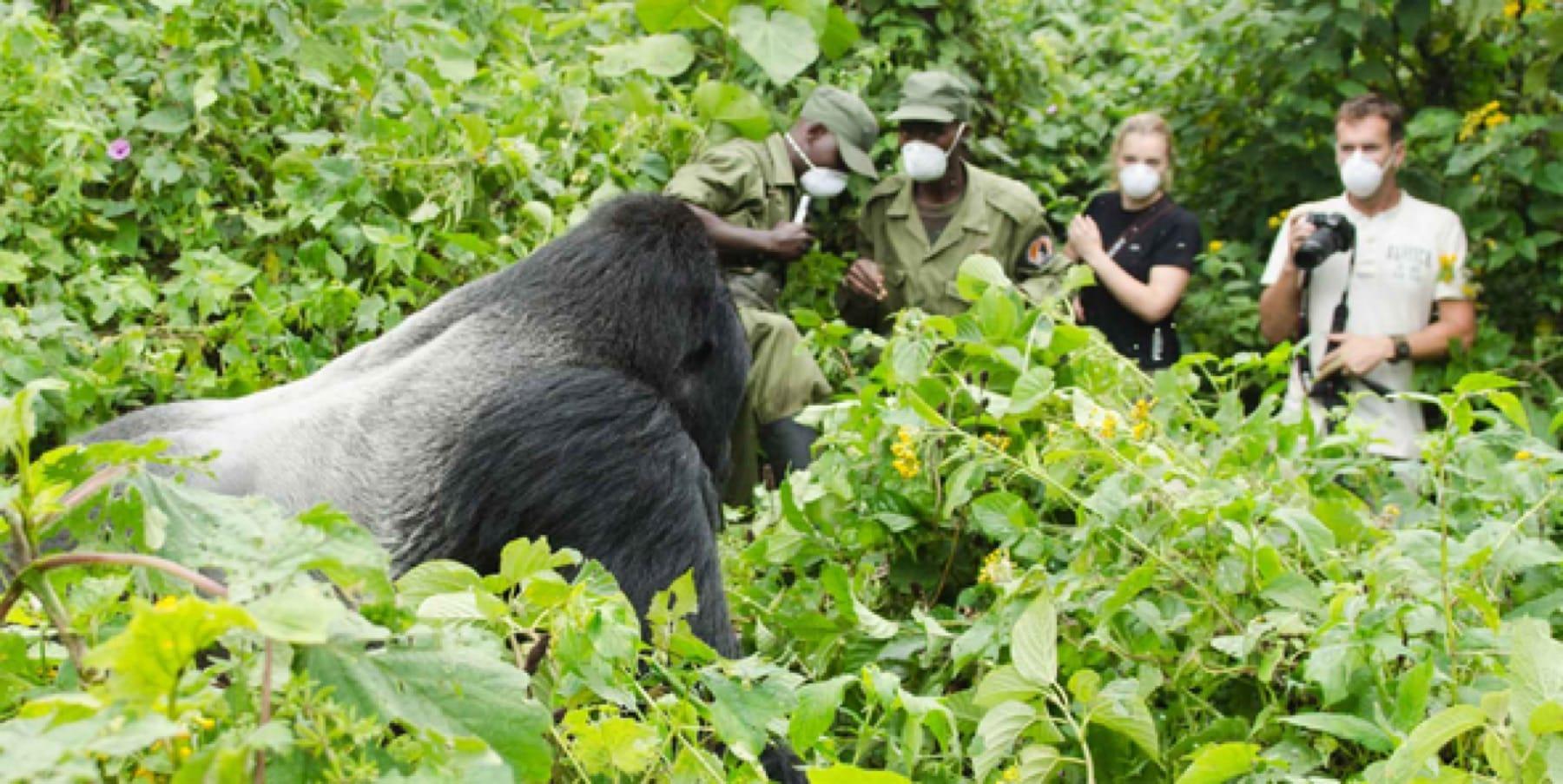 gorilla trekking silverback gorilla