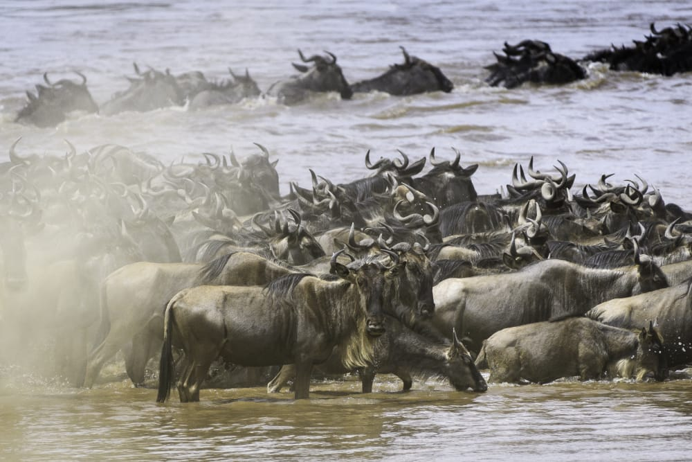 great migration mara river wildbeest