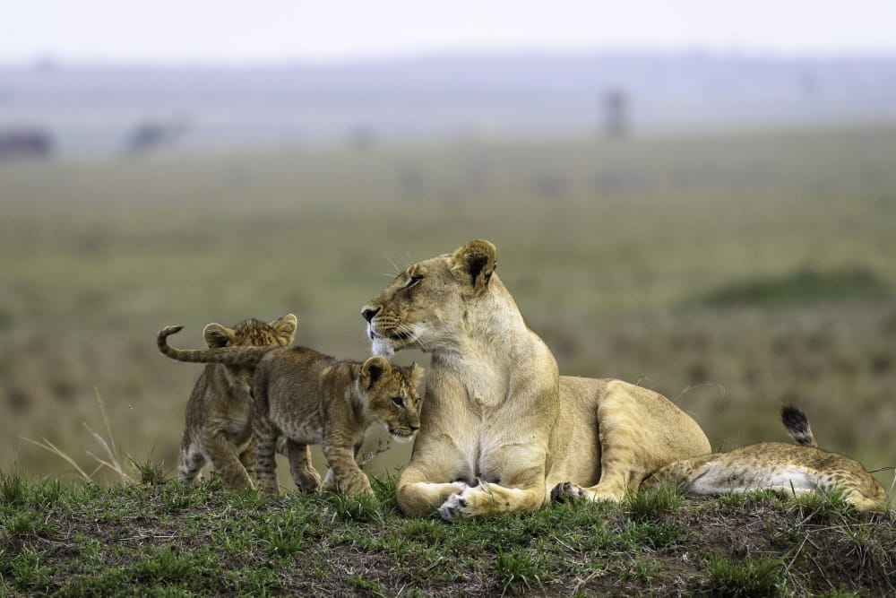 lion and cubs masai mara big cat safari