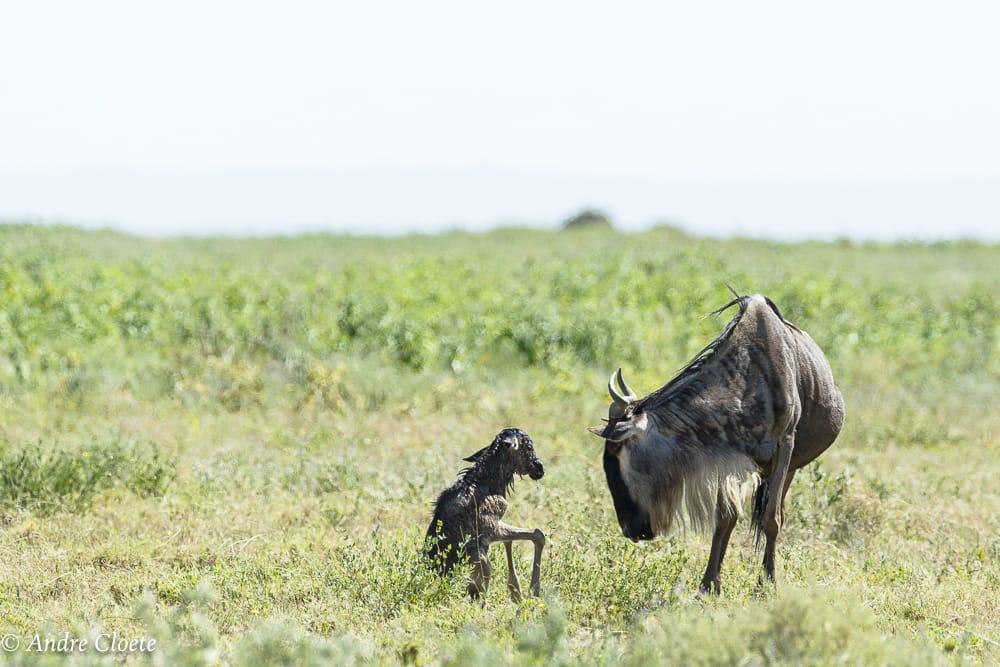 calving season in the serengeti