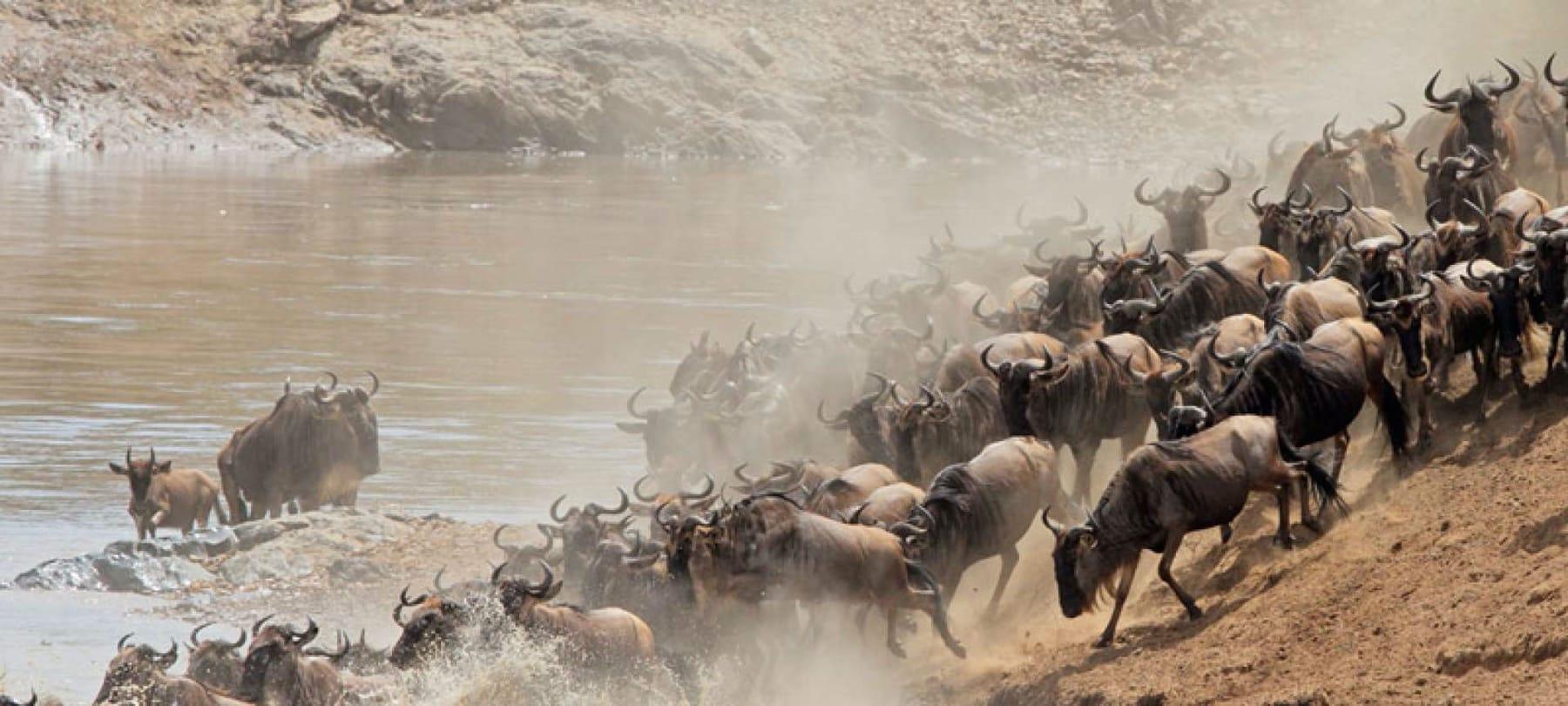 great migration river crossing masai mara
