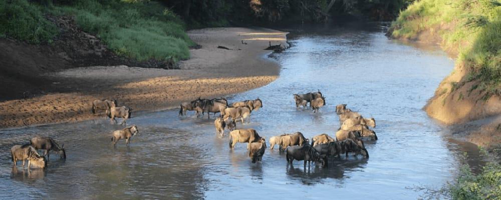 wildebeest in the grumeti river
