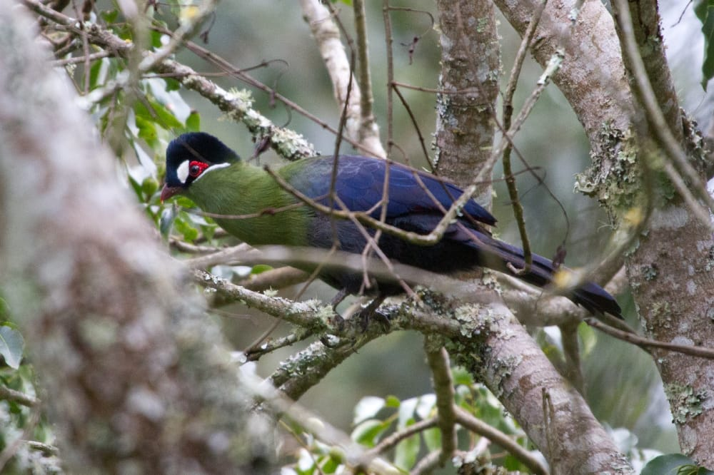 hautlab's turaco in the rainforests of mount kilimanjaro
