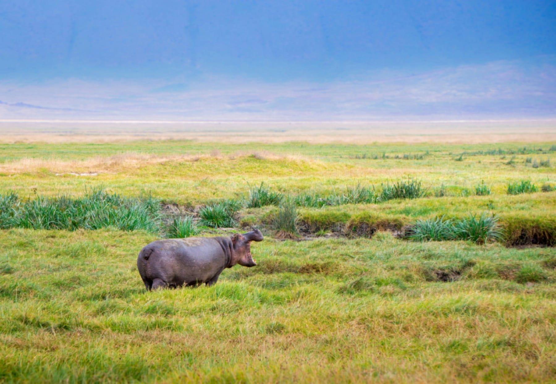 hippo wildlife ngorongoro crater tanzania safari