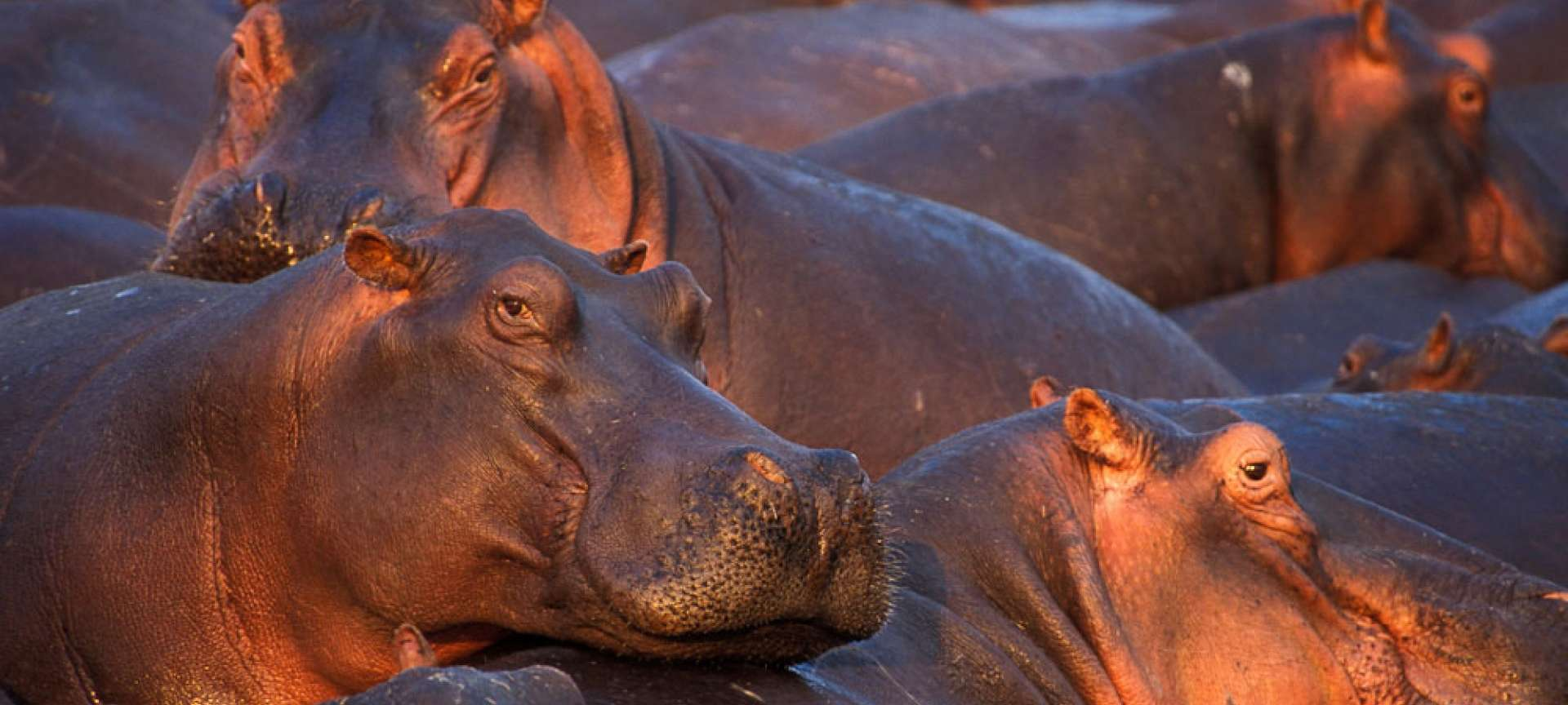 Hippos in Moremi