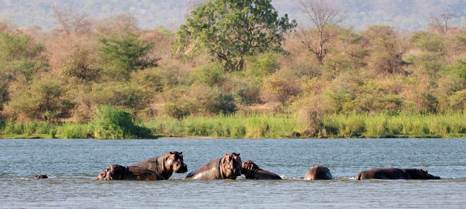 hippos zambezi