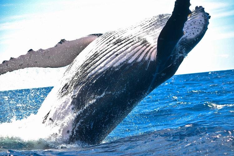 humpback whale kenya