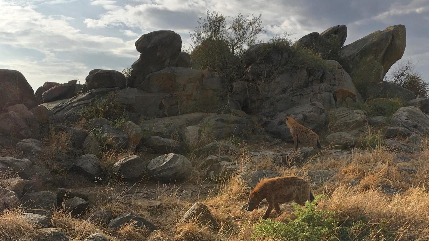 hyena ngorongoro crater wildlife tanzania safari