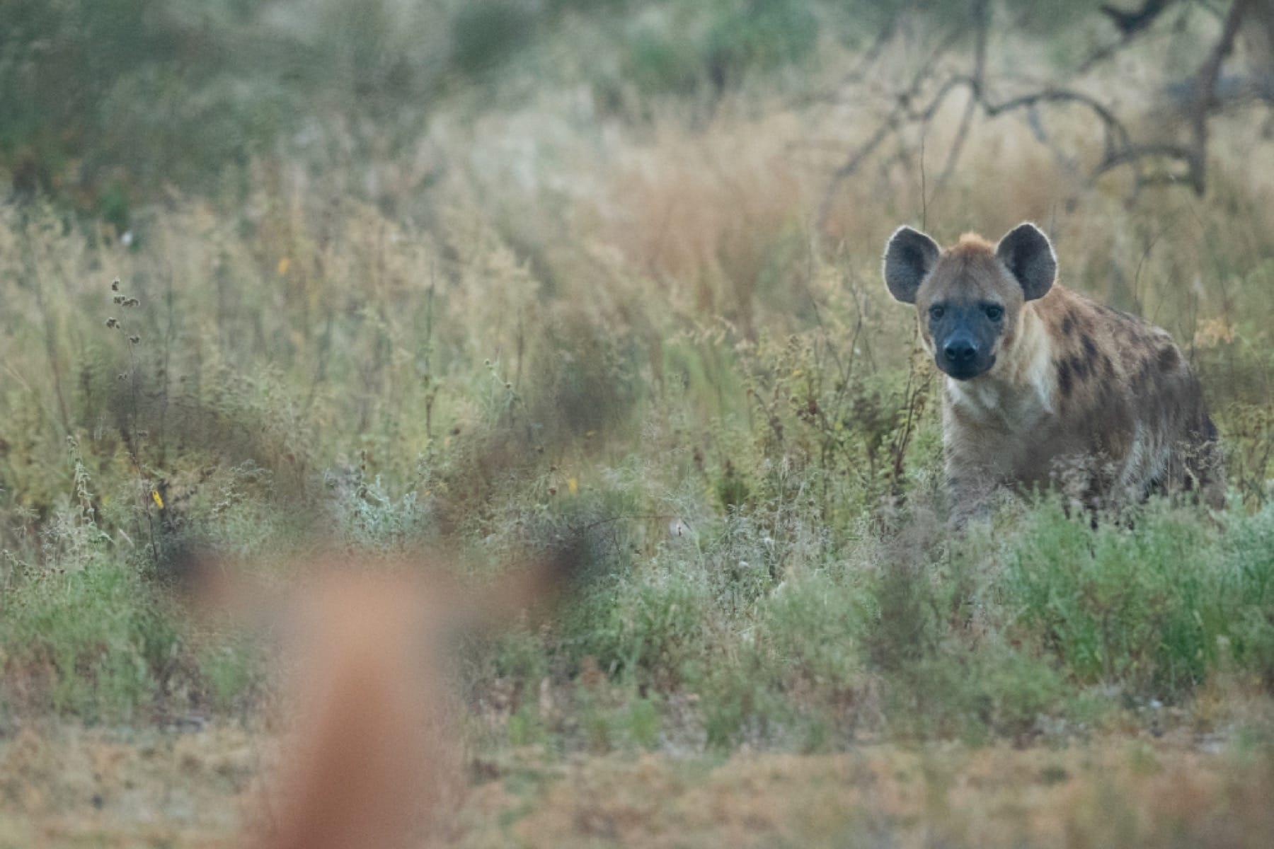 hyena wildlife ngorongoro crater
