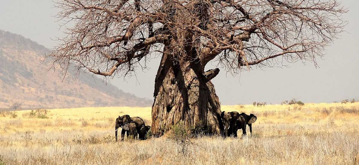 The historic baobabs are ancient trees that dot the landscape