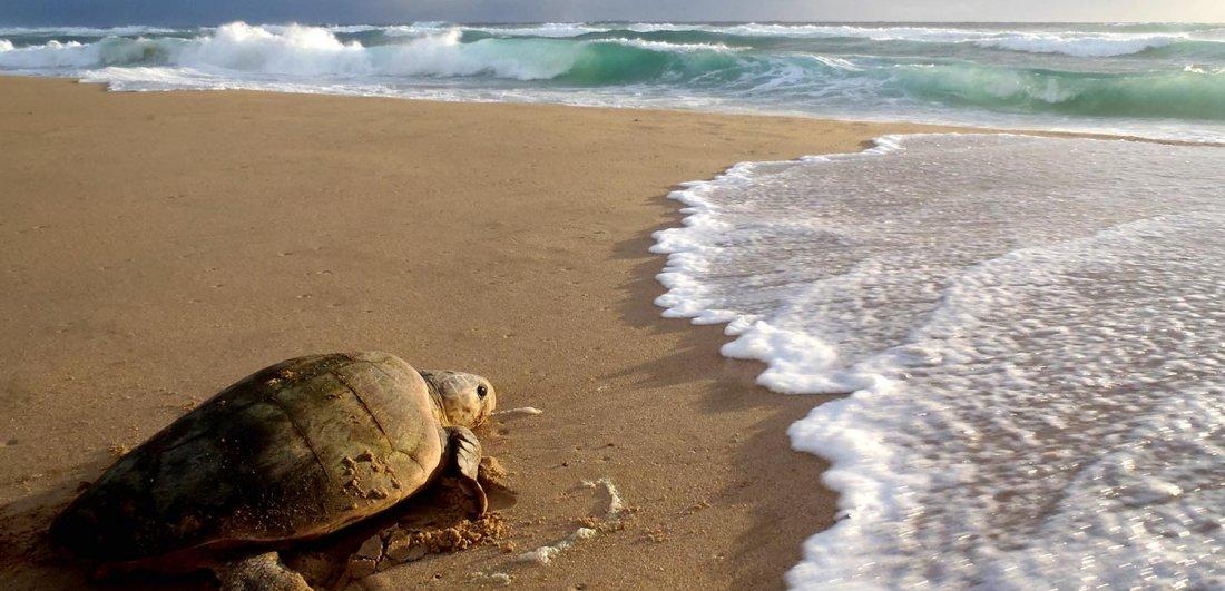 isimangaliso turtle