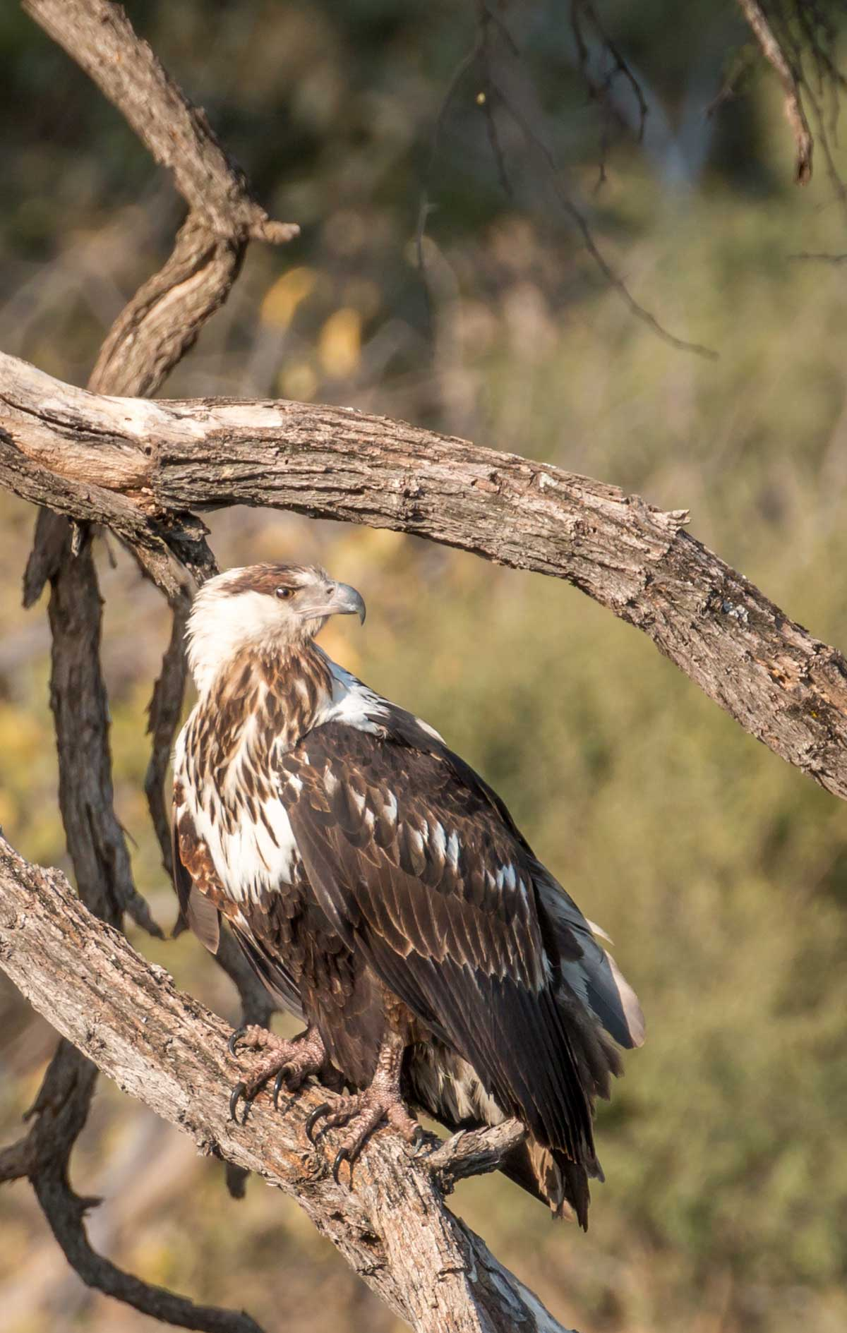 Juvenile Fish eagle in Botswana (credit Rachel Lang)