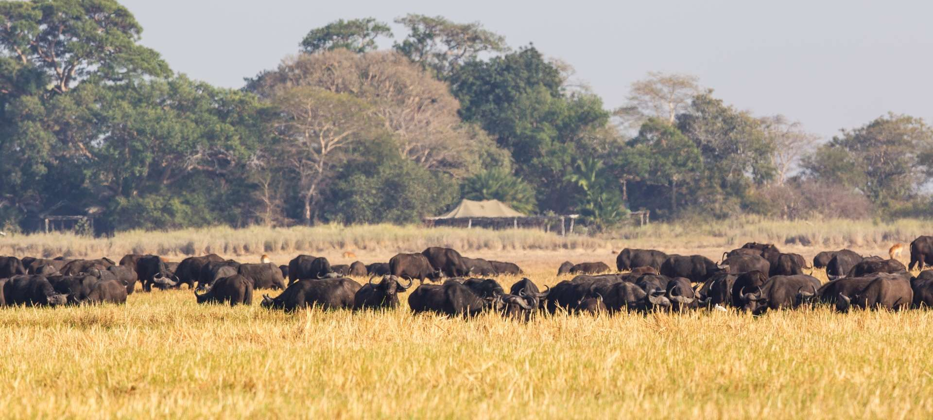 Herds of buffalo congregate in Kafue NP